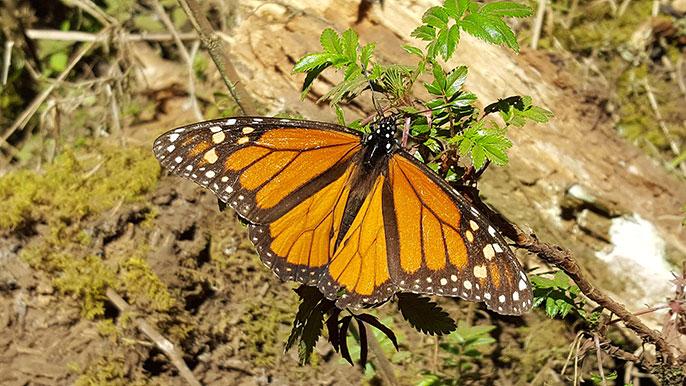 UC San Diego monarch butterfly