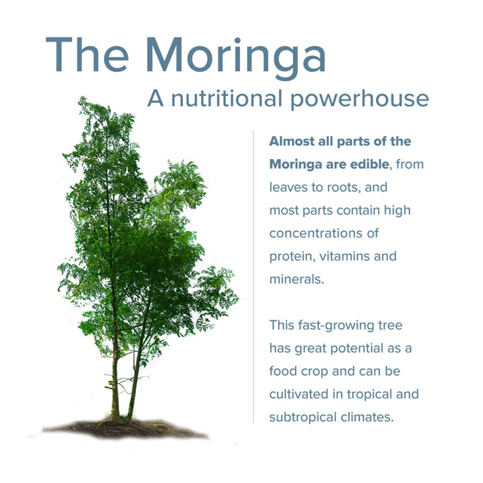 Moringa plant infographic: Almost all parts of the moringa are edible, from leaves to roots, and most parts contain high concentrations of protein, vitamins and minerals. This fast-growing tree has great potential as a food crop and can be cultivated in tropical and subtropical climates.