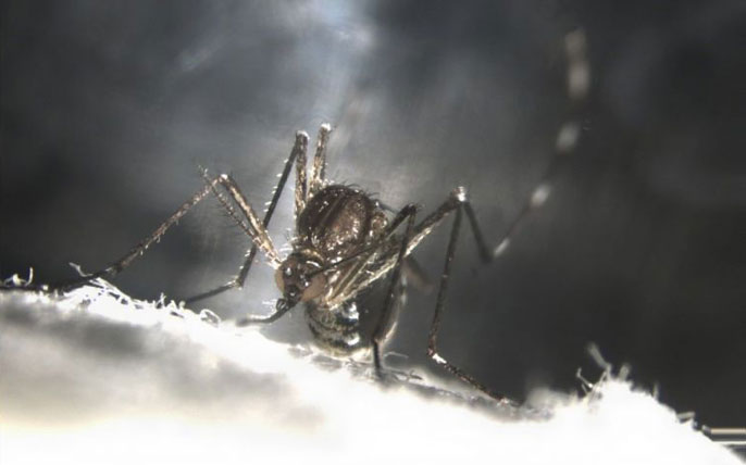 UC Riverside mosquitoes self-destruct