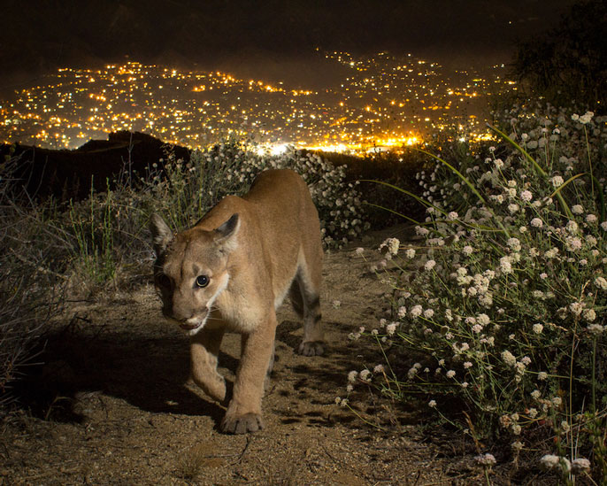 Mountain lion in Southern California, city in the background