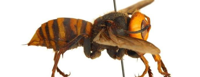 Large hornet
