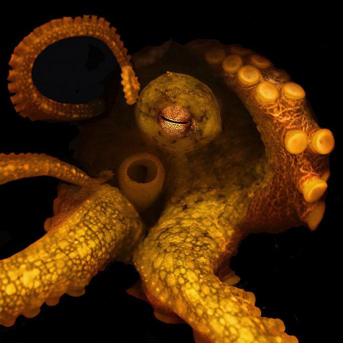 two-spot octopus