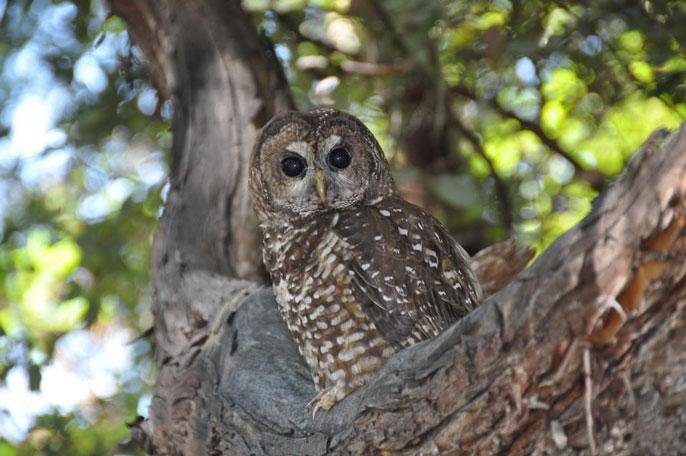 UC Davis owl
