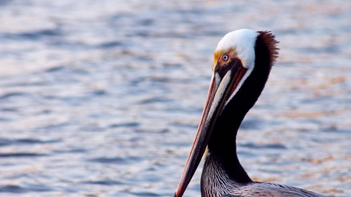 A brown pelican, sea behind it