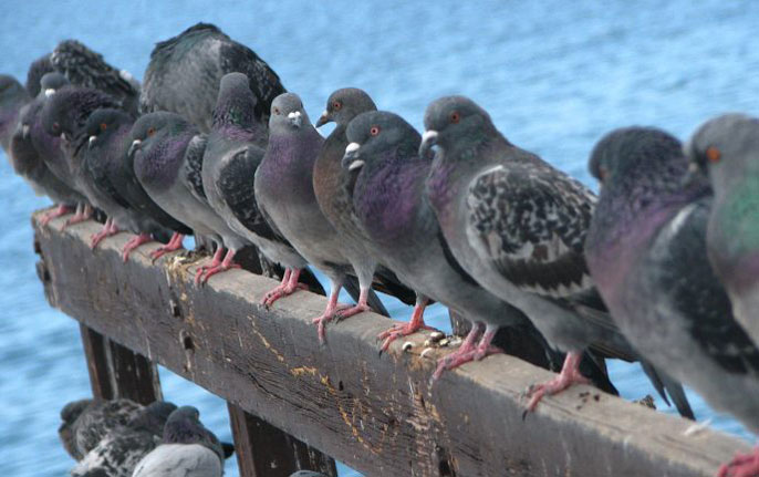 A row of pigeons on a plank