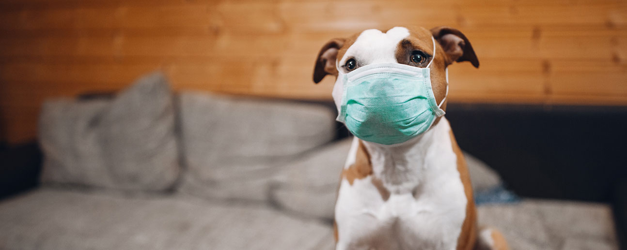 cute pit bull-type dog wearing a surgical mask on a couch