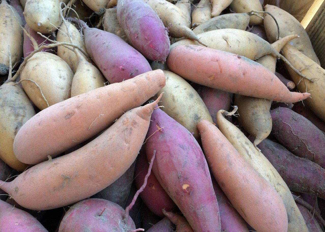 Purple potato selection