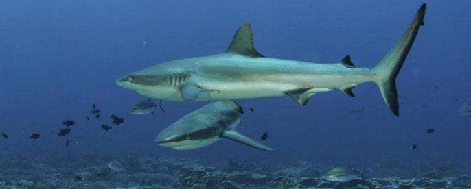 UC San Diego reef sharks