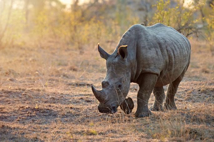 UC San Diego rhino