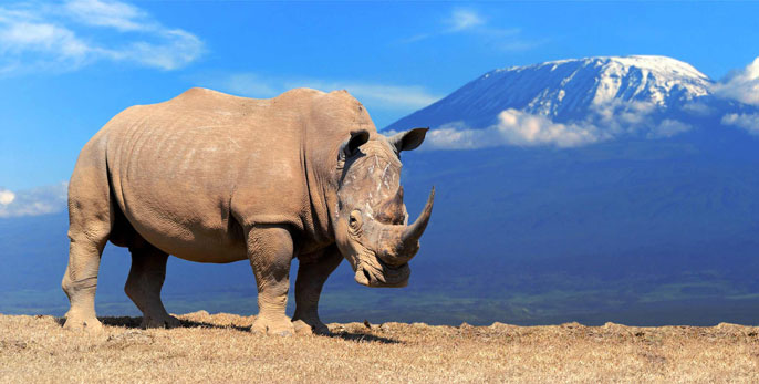 2 northern white rhinos are left in the world  Here's how robots