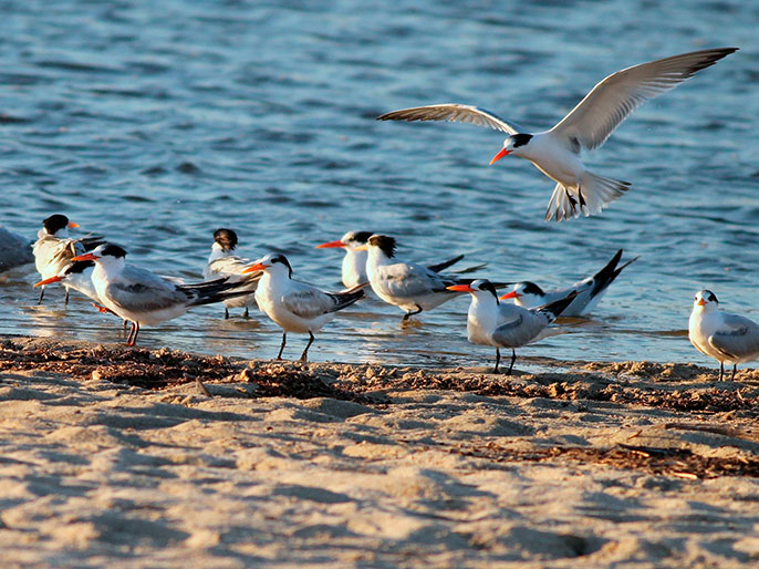 elegant terns on the beach