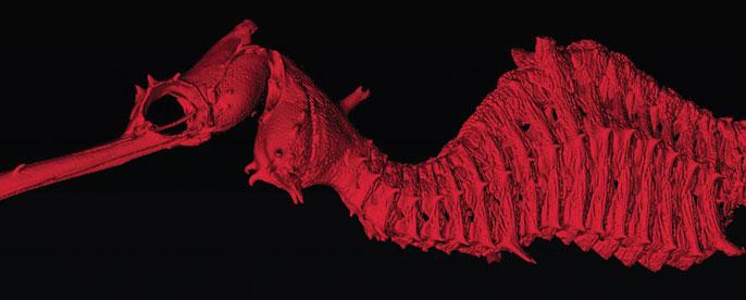 UC San Diego ruby seadragon