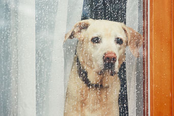 Sad yellow lab looks through window at rain