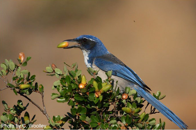Scrub Jay UC Natural Reserve System