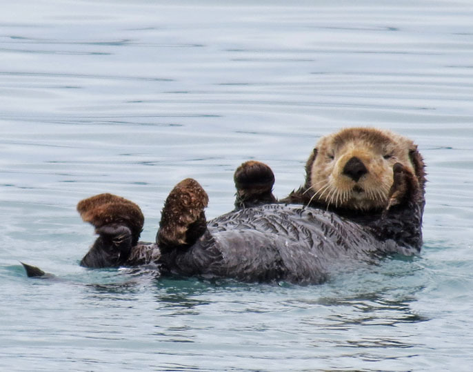 Sea otter laying on its back being adorable