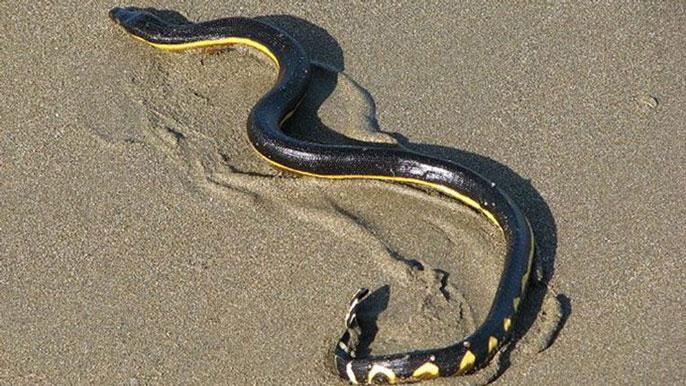 UCLA sea snakes