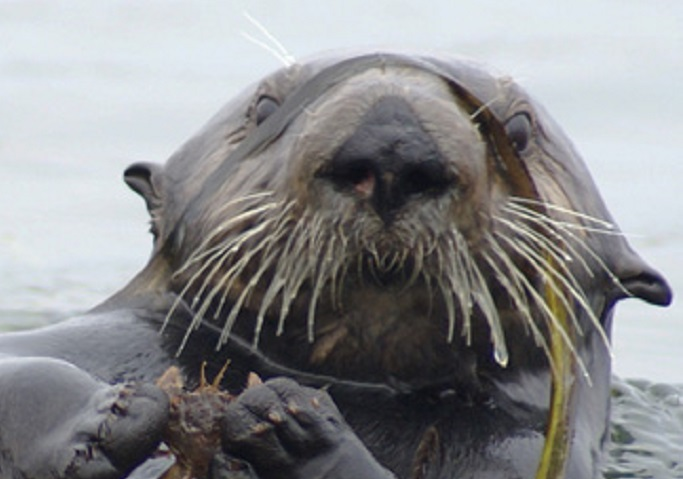 Sea otter holding a crab
