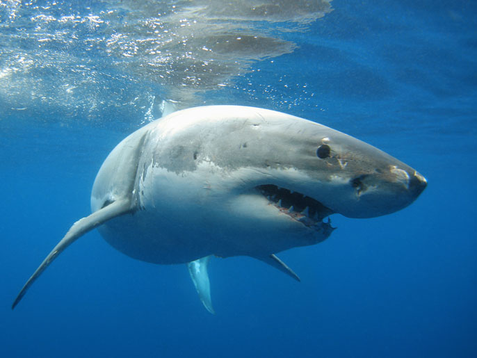 Great white shark in profile