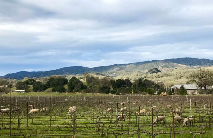 Sheep in a biodynamic vineyard