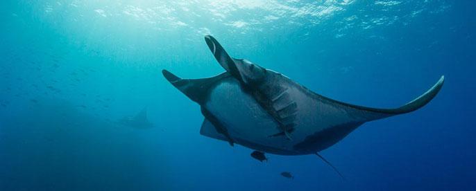 UC San Diego manta ray