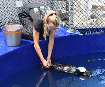 Sea otter named Selka trains with a graduate student who holds her paws