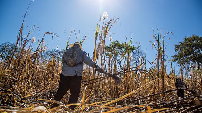 Sugarcane UCSF