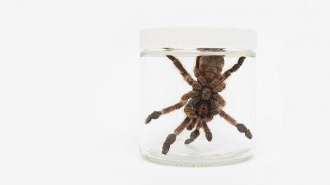 A West African tarantula