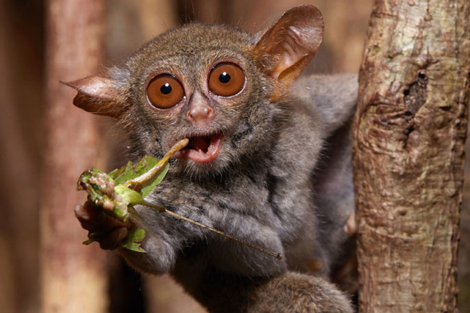 Chewing spectral tarsier