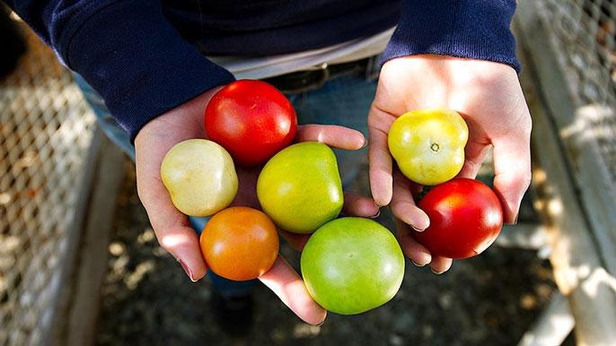 Tomato varieties UC Davis
