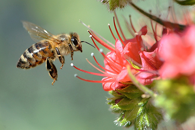 Honeybee hovers near a tower of jewels flower in a California garden