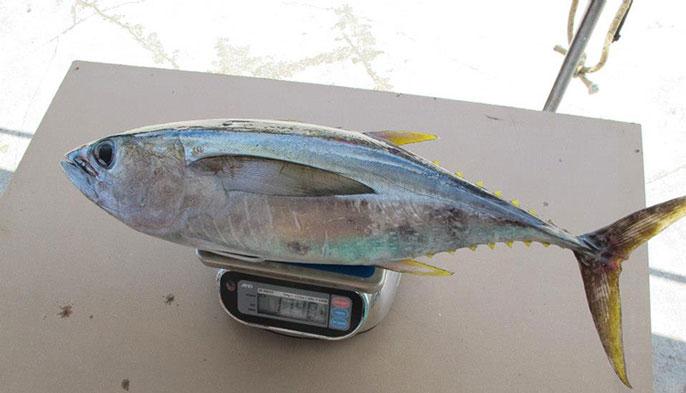 UC San Diego tuna