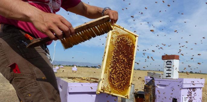 UC Davis bees