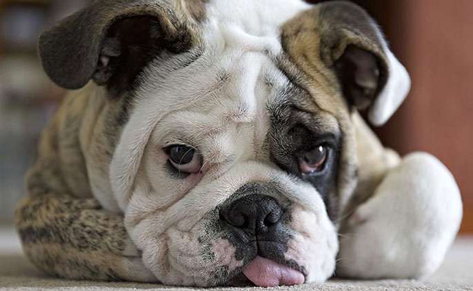 UC Davis bulldog
