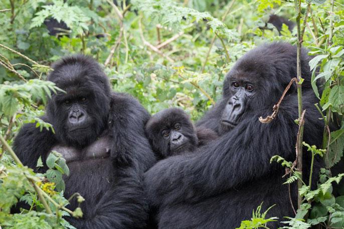 UC Davis gorilla
