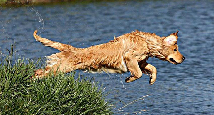 A golden retriever jumps in a pond