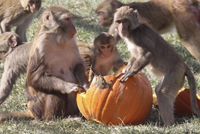UC Davis social monkeys