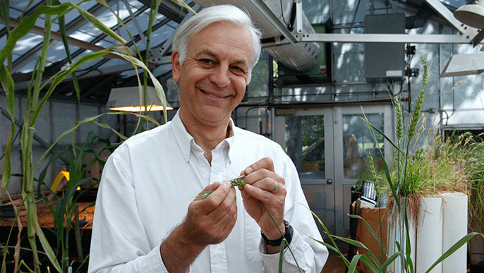 UC Davis wheat