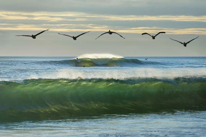 UC Santa Cruz pelicans ecosystems