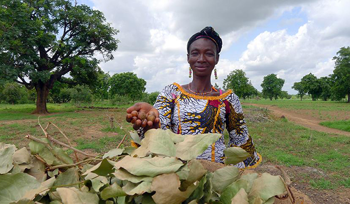 This Southern Burkina Faso farmer holds a handful of shea nuts, an orphan crop in Africa.