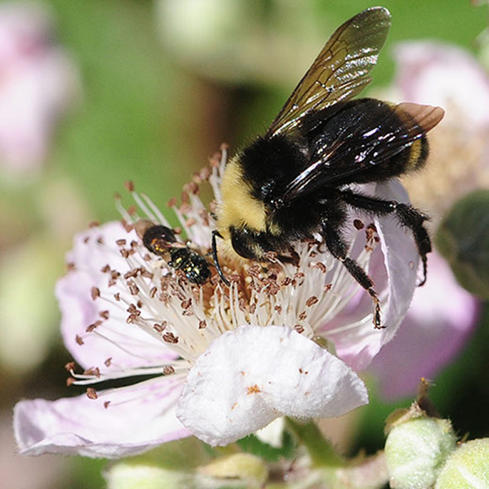 The numbers of wild pollinators like this yellow-faced bumblebee have declined in areas where the need for crop pollination is high.