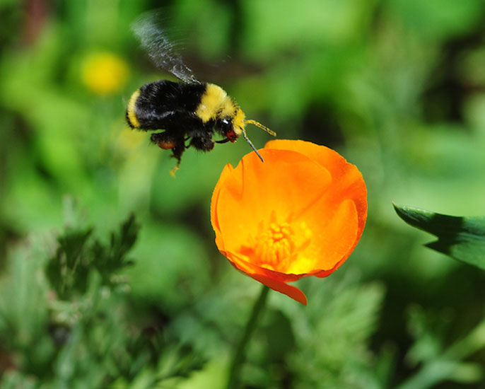 Wild pollinators such as bumblebees contribute to crop production.