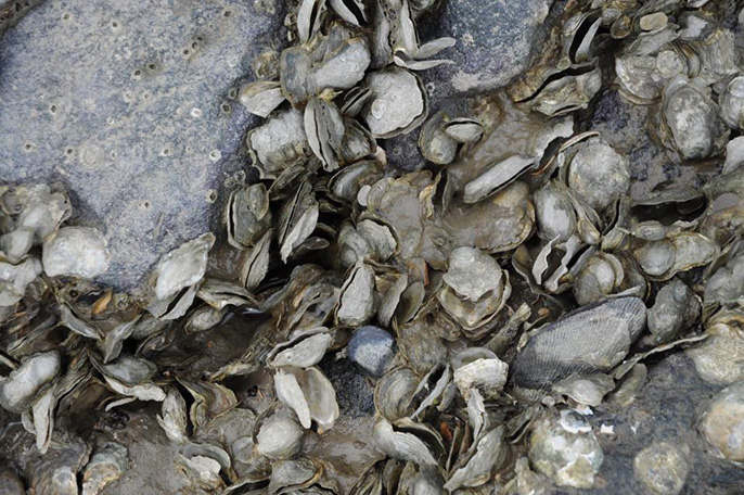 Oysters cling to the shoreline at China Camp State Park in San Francisco Bay before a 2011 mass die-off.
