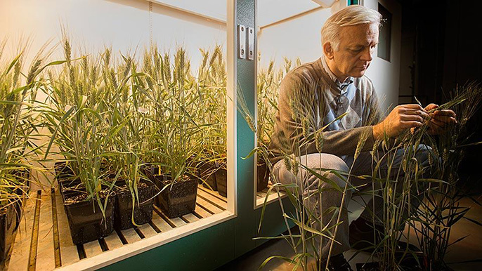 UC Davis plant geneticist Jorge Dubcovsky examines one of the wheat plants being raised in an indoor growth chamber.