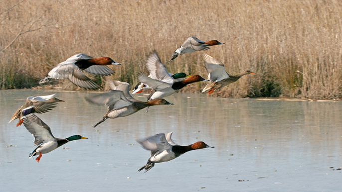 The risk of bird flu transmission is higher in the fall due to the increased number of waterfowl present.