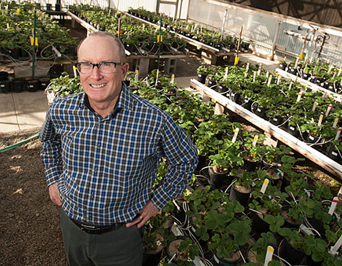 Steve Knapp, UC Davis' new strawberry breeder, checks out the campus strawberry greenhouse.