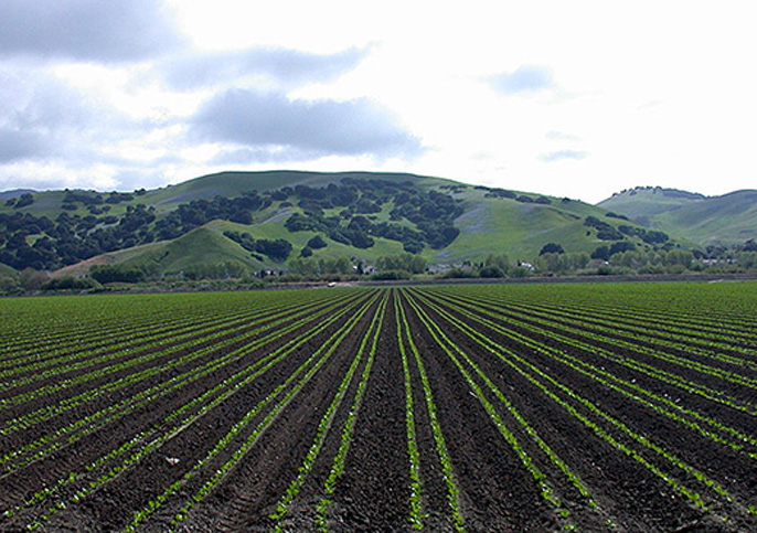 Fluorescent seedlings will help a robotic cultivator target weeds in planted fields like this one in the Salinas Valley.