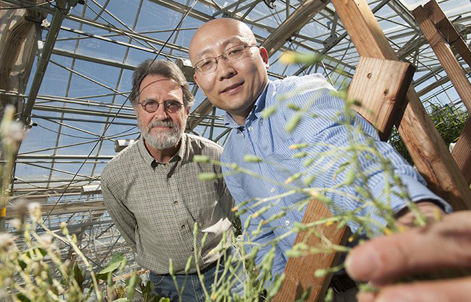 Kent Bradford, left, and Alfred Huo, seen here with a flowering lettuce plant, found that lettuce could be prevented from flowering by increasing the expression of a specific microRNA in the plants. The high levels of this microRNA prevent the plant from