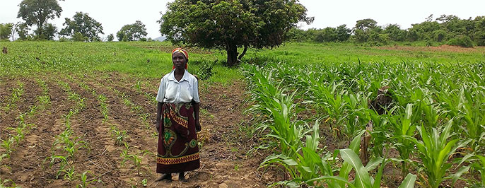 Monica Banda, a farmer in Zambia, stands in the middle of a field she planted. The field on the left is also hers but was planted using traditional techniques and seed. The fields on the right is a Zasaka field. Banda's yield increased by two times after