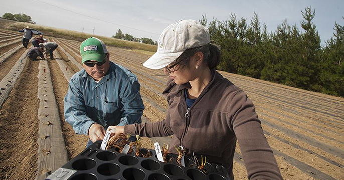 Senior technician Eduardo Garcia, left, and lab manager Charlotte Acharya, both of the UC Davis Department of Plant Sciences, prepare to place young strawberry plants in this field at UC Davis.
