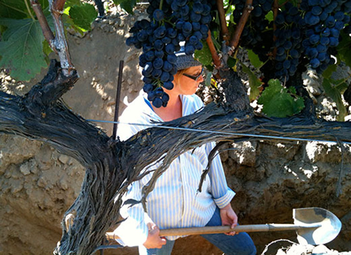 Former UC Davis postdoc Kim Mosse digs through soil for sampling at a vineyard. A UC Davis study says winery wastewater is a viable option to irrigate vineyards.